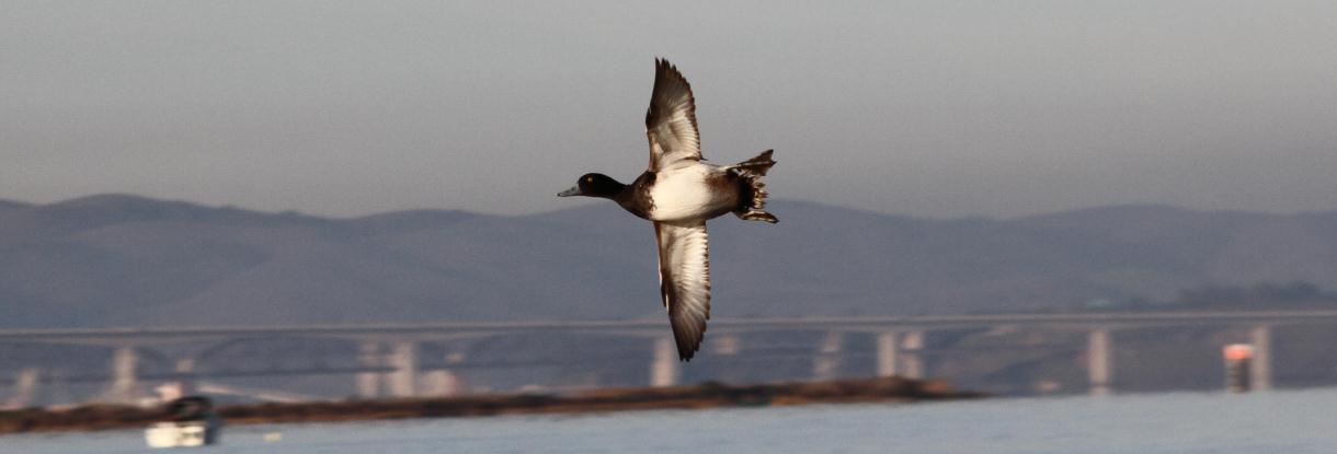1c-0101-3-flying-duck-1220-x-4151