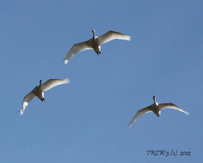Three birds flying websize