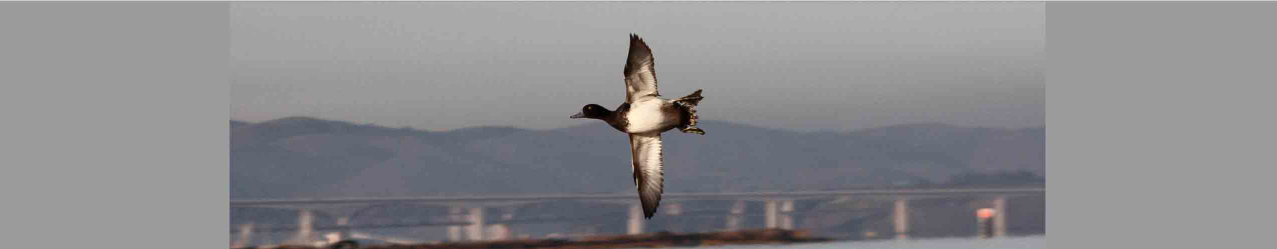 duck-flying-alone-9